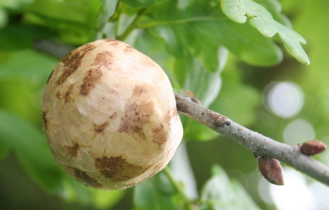 Oak_apple